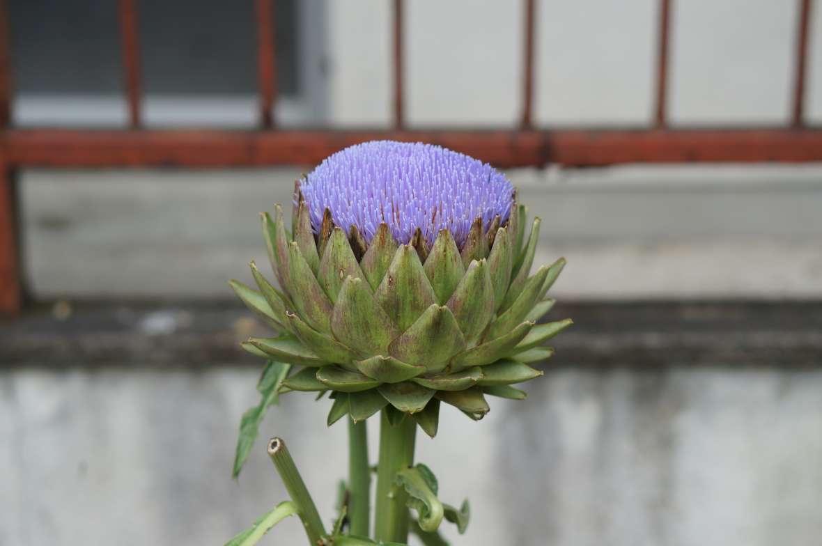 アーティチョークの花1